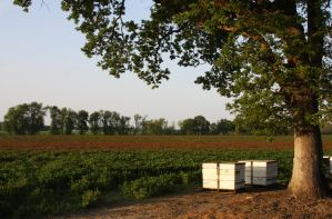 Beehives and Clover by ArtistStock