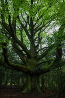 The beech of the traveler by dominique-merot