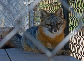 Gray Fox- Fur Farm Rescue 2 by hotwiar