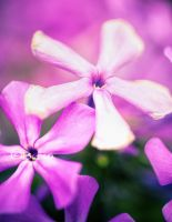Lilac flower stars by bexa