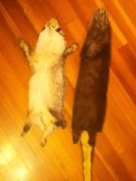Otter and Badger pelts for SALE 2 by aquaheartthecat