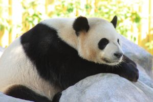 Panda at Toronto zoo by EmoShunka