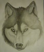 Huskey wolf 2008 sketch by TsukiOhkami