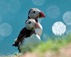 Puffin1c by pixellence2