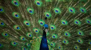 Peacock by linneaphoto
