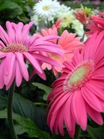 Gerberas by dmguthery