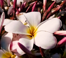 Plumeria by sublimelove4life