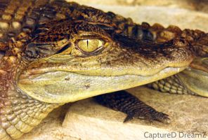 Gator glares by CapturedDreamz