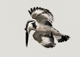 Fishing - Pied Kingfisher by Jamie-MacArthur