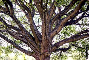 Oak Tree 051415 by meriwani