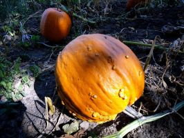 Pumpkins for Halloween by Kitty-Amelie