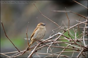 Little Sparrow by Tiefenschaerfe