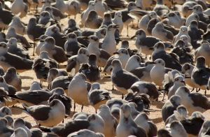 Laughing gull pile by Fail-Avenger