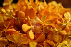 Yellow flowers in Thailand by Armandacyd