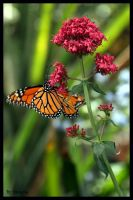 Monarch Butterfly by shutterbugmom