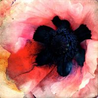 PinkPoppy01 by horstdesign