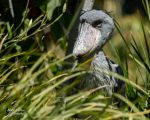 Shoebill by EdgedFeather