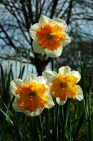 Three Orchid Daffodils by EarthHart