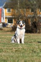 Australian Shepherd by EarudienUndomiel