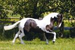 Black/White Cob Canter by DWDStock