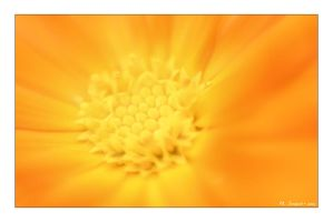 Shiny Orange Flower by philcopain