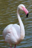 Greater Flamingo by Daniel-Wales-Images