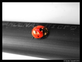 Coccinella by pitto