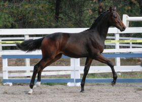 Bay Warmblood Filly 011 by NotoriousFlair