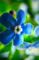- blue flowers - by Dc-Creative