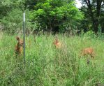 Fenced In Fawns 2 by Windthin