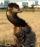 Emu Face by SalsolaStock