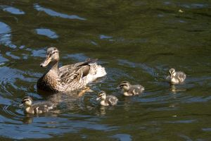 Mom and Baby Ducks by Apophis906