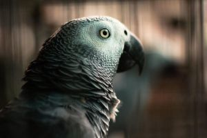 African grey by Chrementes