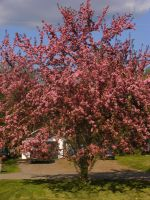 my flowering apple tree by BlueIvyViolet