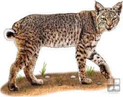 Bobcat by rogerdhall