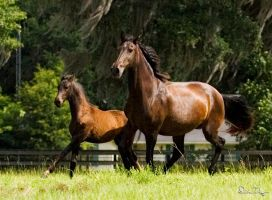 Lusitano Mare and Filly by Deirdre-T