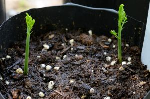 Texas Ebony sprout pair day 8 by lamorth-the-seeker