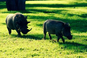 want some wild boar? 02 by CarlosArthur