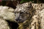 Snow Panther _ stock img by sekhmet-stock