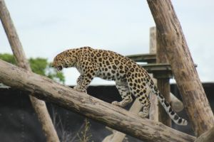 Amur Leopard 16 by lucky128stocks
