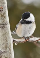 The Chickadee Perch by JestePhotography
