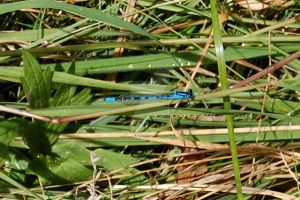 Blue Dragonfly by Moonstarphotos
