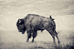 Bison II by ChristineAmat