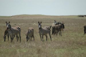 Zebras and Gnu 3 by CosmicStock