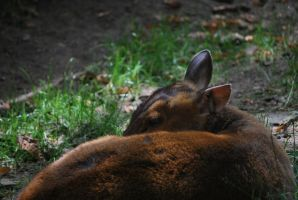 muntjac 1.1 by meihua-stock