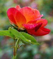 Rose. by photoquilter