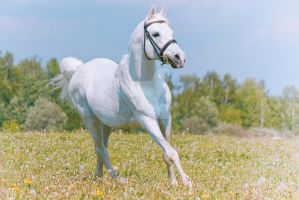 White arabian by nadinkas
