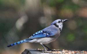 Blue Jay 4-12-12 by Tailgun2009