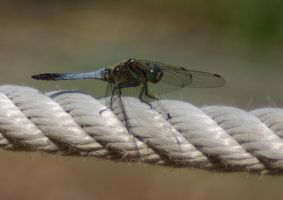 Dragonfly by Parides
