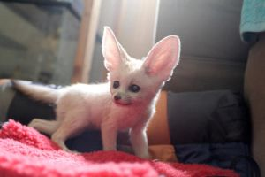 My Cousin's Fennec Fox XD by XxxxChrisXxx